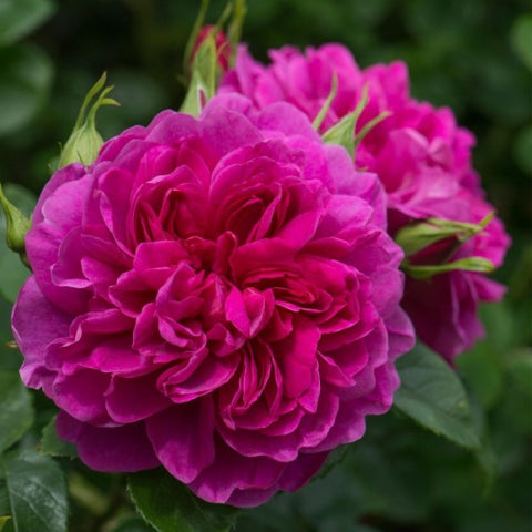 Princess Anne - David Austin Rose