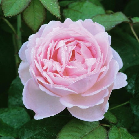 Scepter'd Isle - David Austin Rose