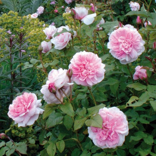 St. Swithun - David Austin Rose PINK