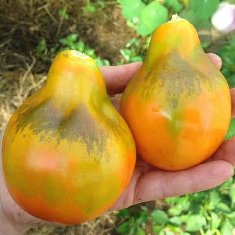 Giant Orange Pear Tomato