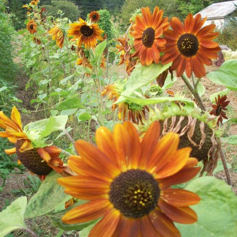 Sunflower Velvet Queen - Good Earth Farms