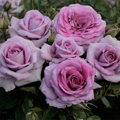 Violet's Pride - Weeks Rose
