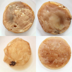 four healthy but ugly kombucha Scobys