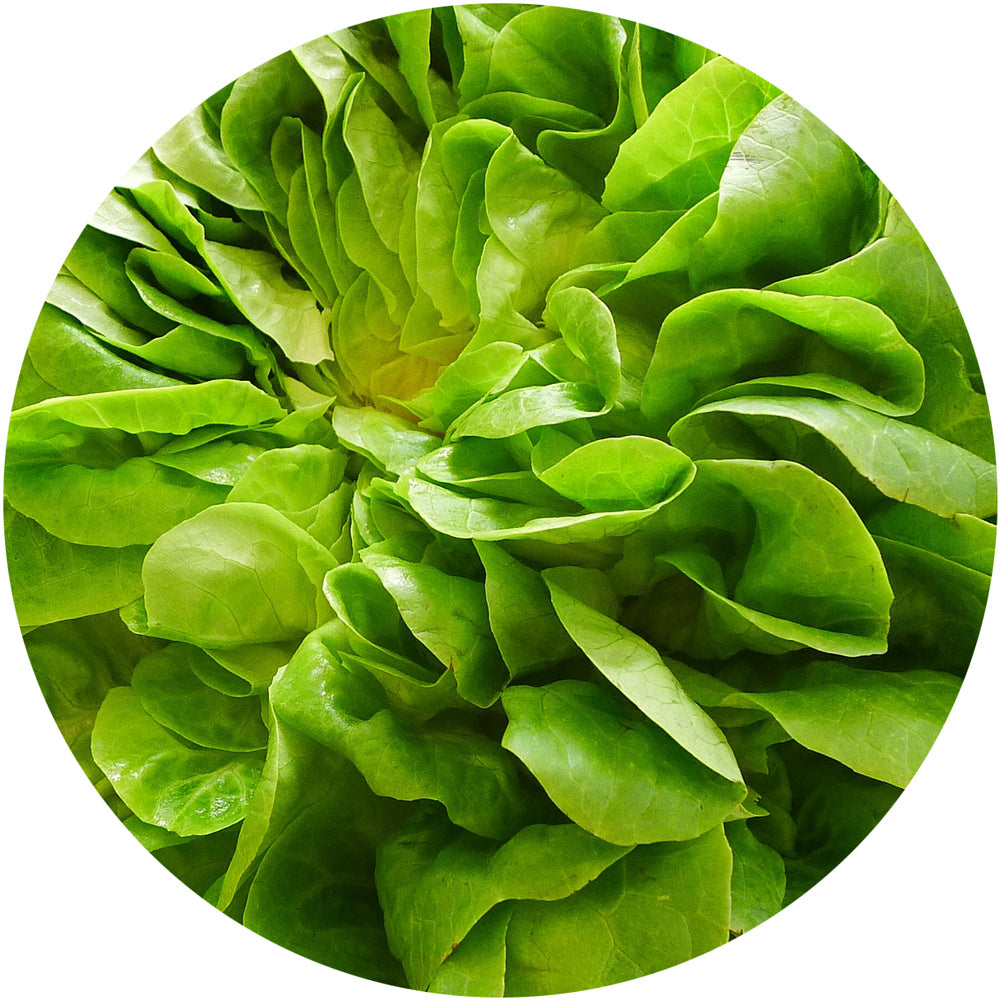 Butterhead (Boston)<br>Lettuce