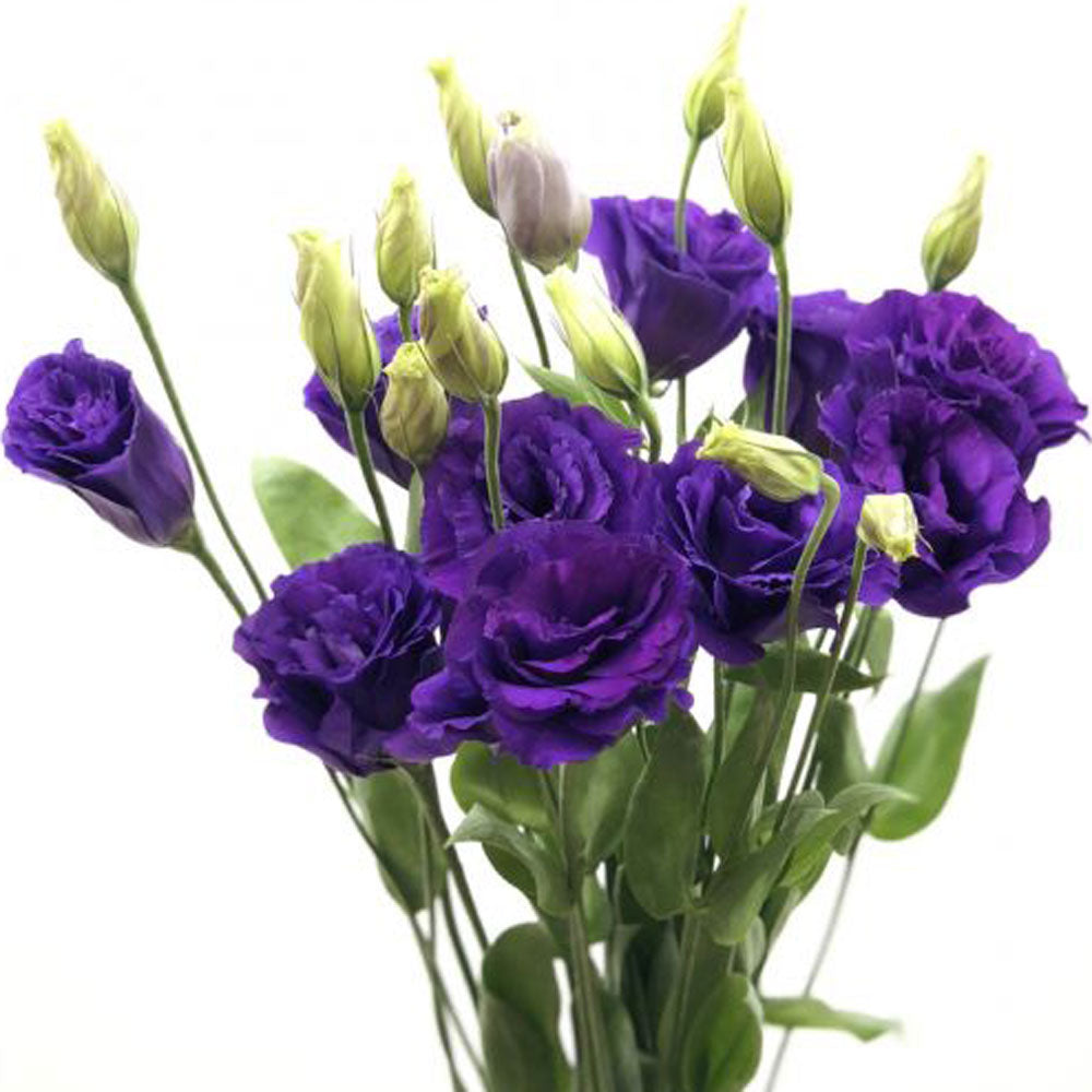 Purple Lisianthus<br>Multi Flower Stems