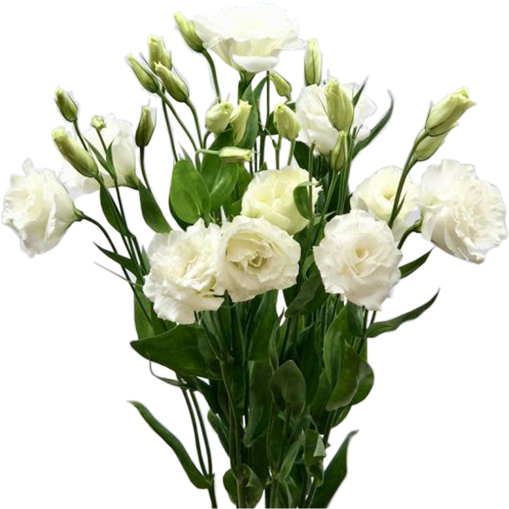 White Lisianthus<br>Multi Flower Stems