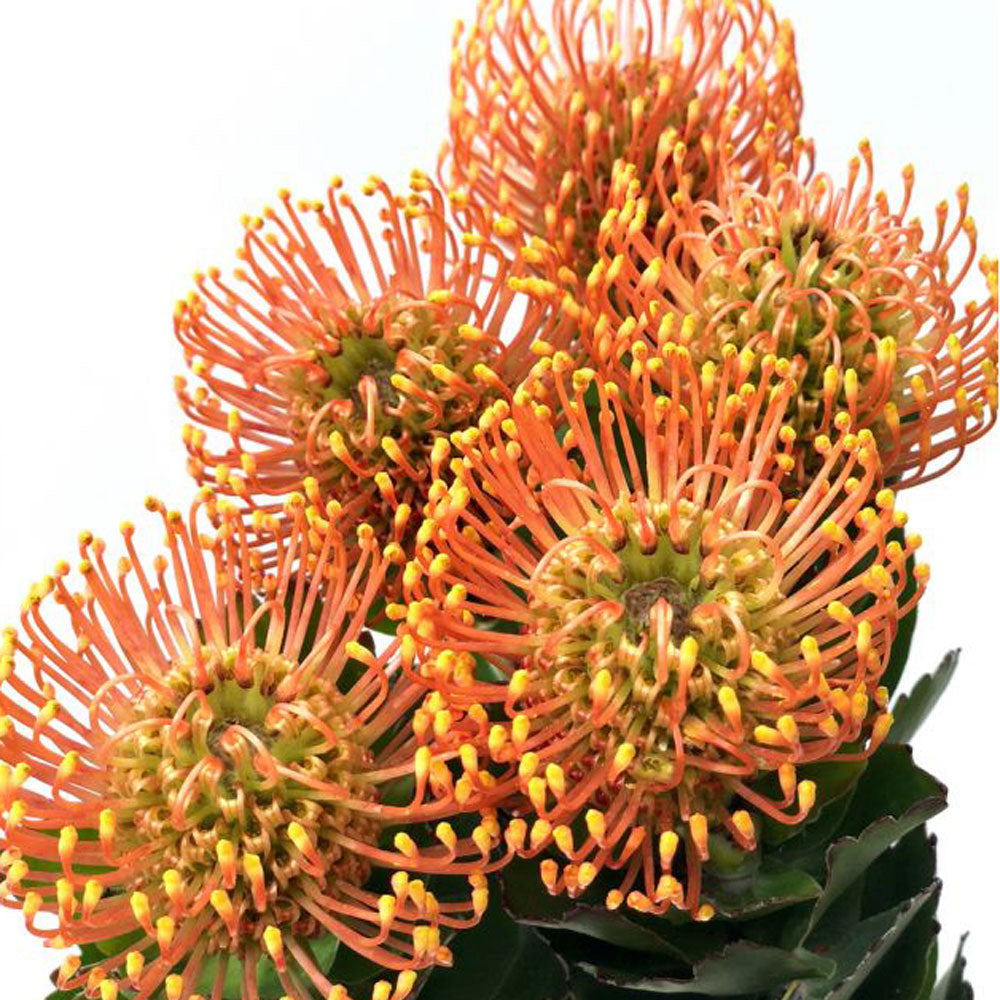 Protea Orange<br>Pincushion
