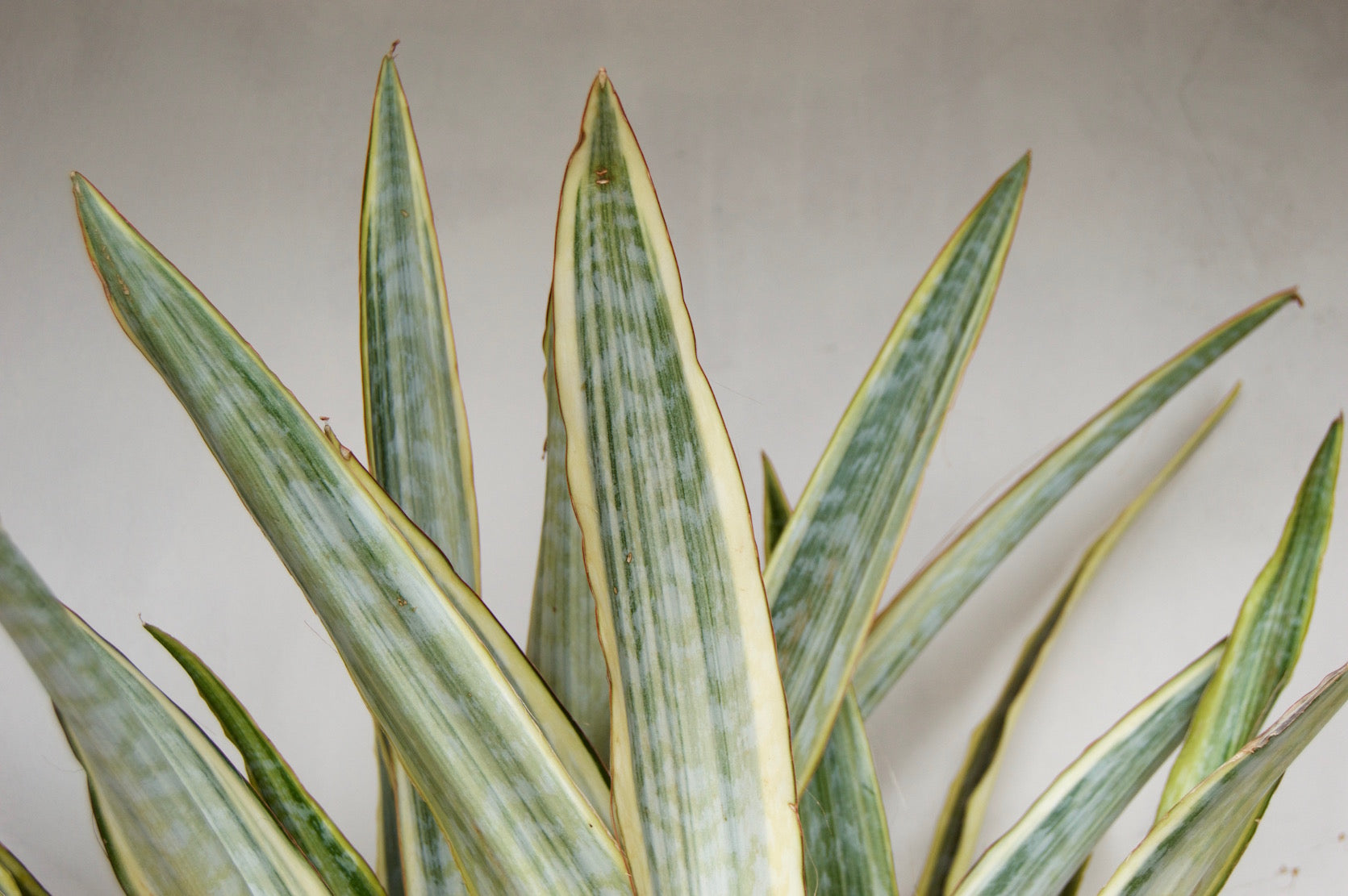 Sansevieria 'Yellowstone'