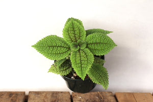 Pilea 'Moon Valley'