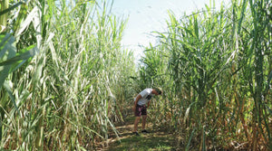 West Hawaii Today: Sugar cane and rum in Hawaii — Back to the future