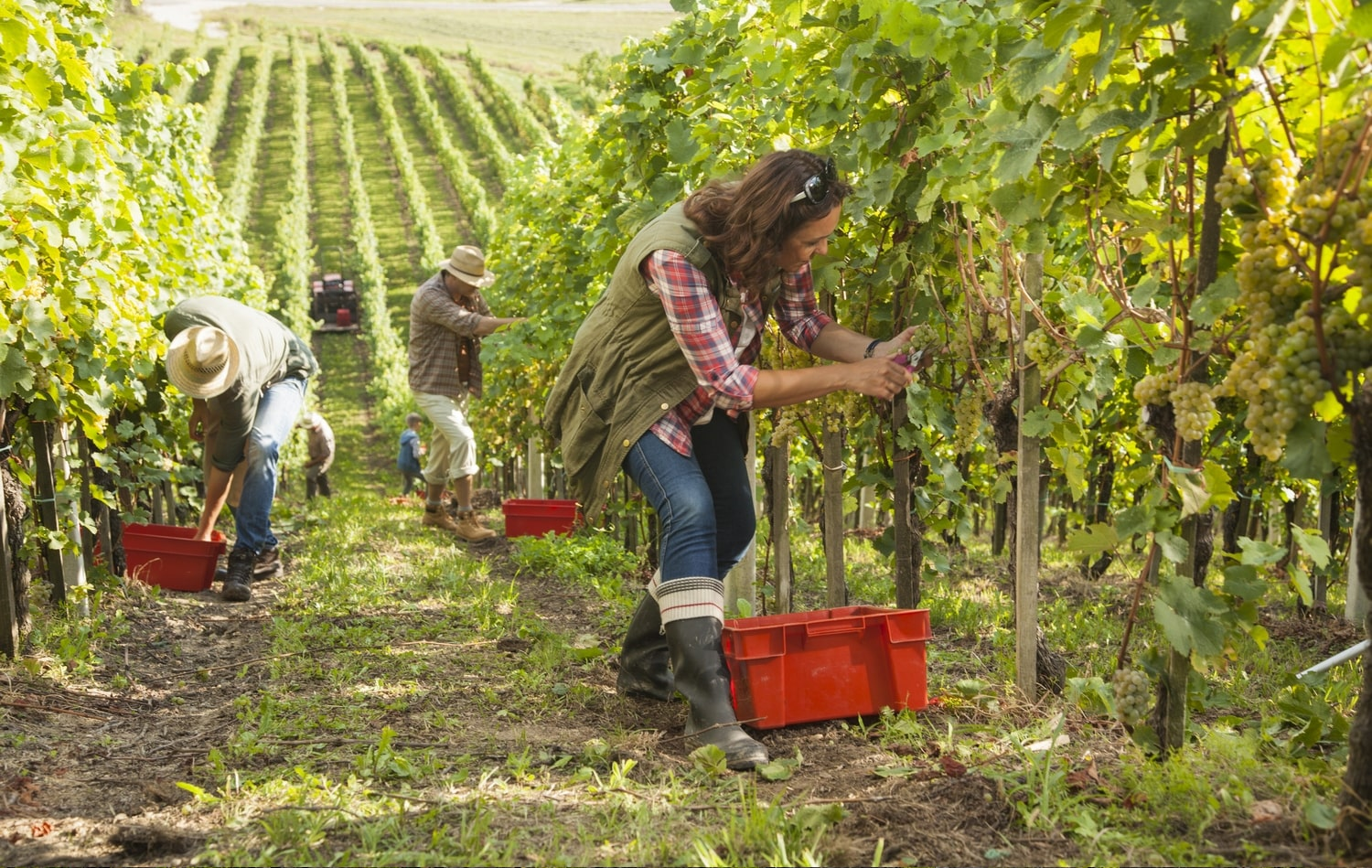 santa barbara county grape harvest 2019