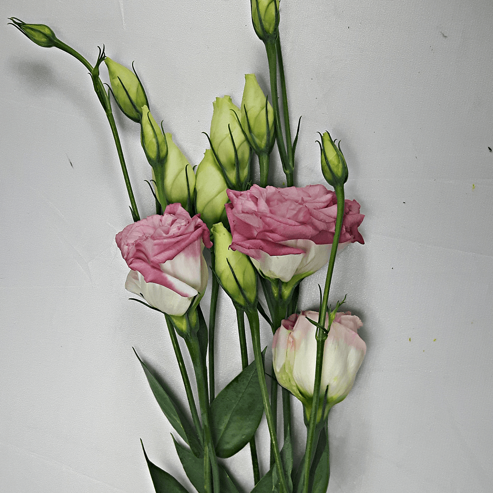 White and Pink Lysianthus