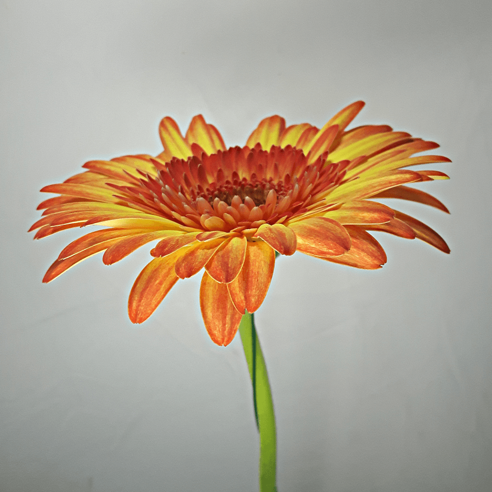 Orange Yellow Gerbera