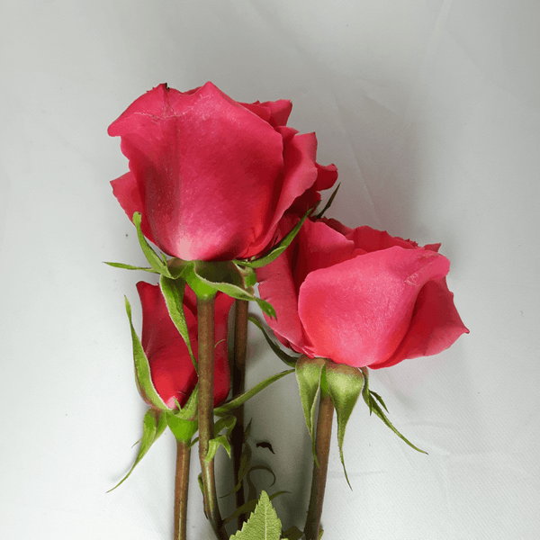 Dark Pink Spray Roses