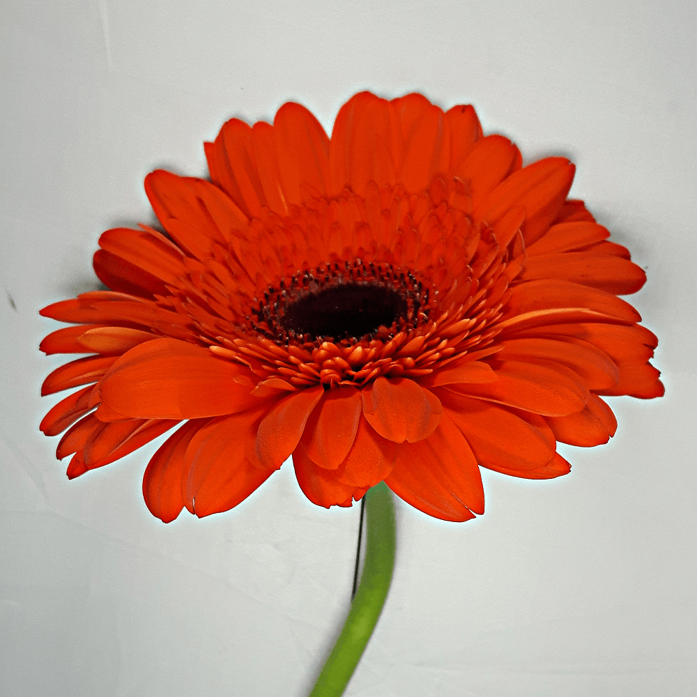 Dark Orange Gerbera