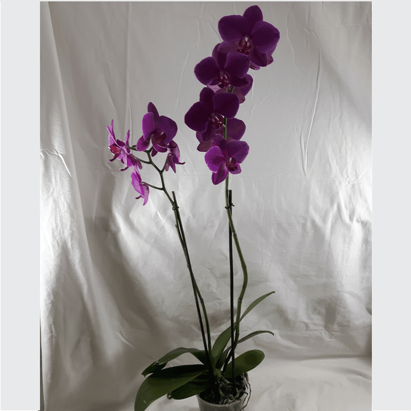 2 Stems Dark Pink Orchid Plant