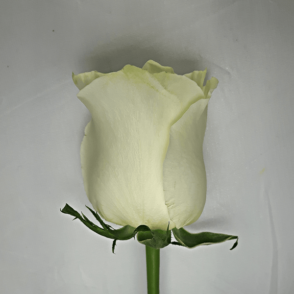 Large White Rose