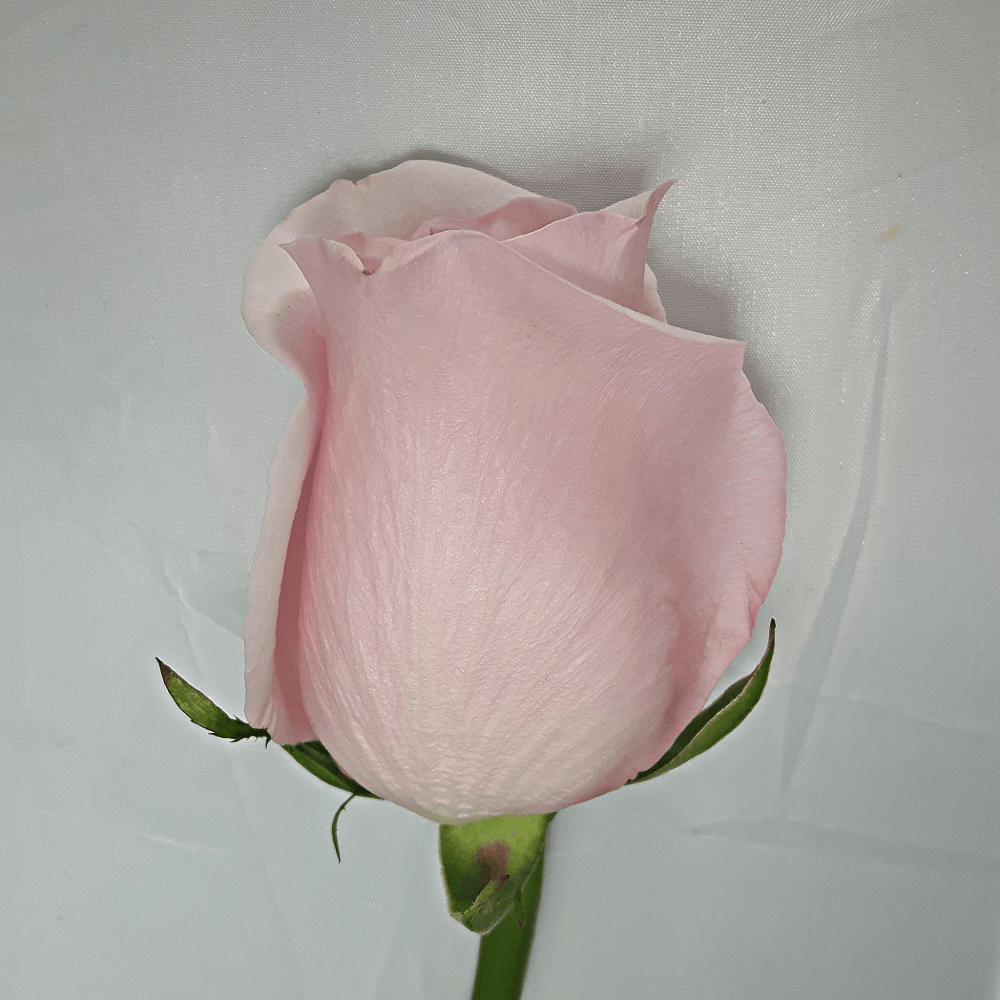 Large Light Pink Rose