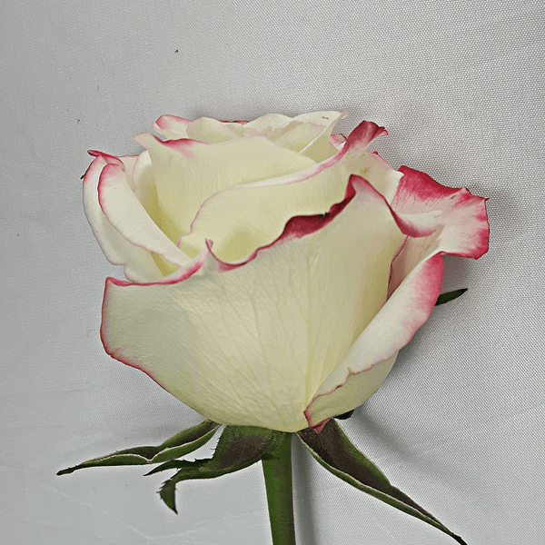 Large White Pink Rose