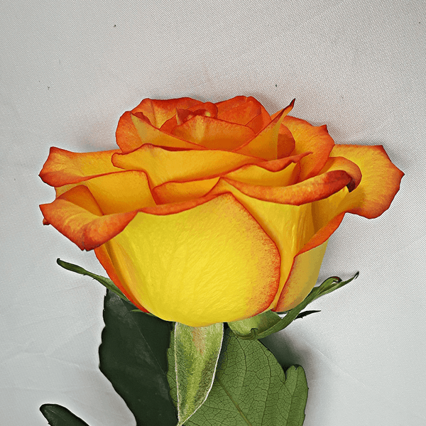 Large Orange Yellow Rose