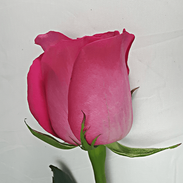 Large Dark Pink Rose