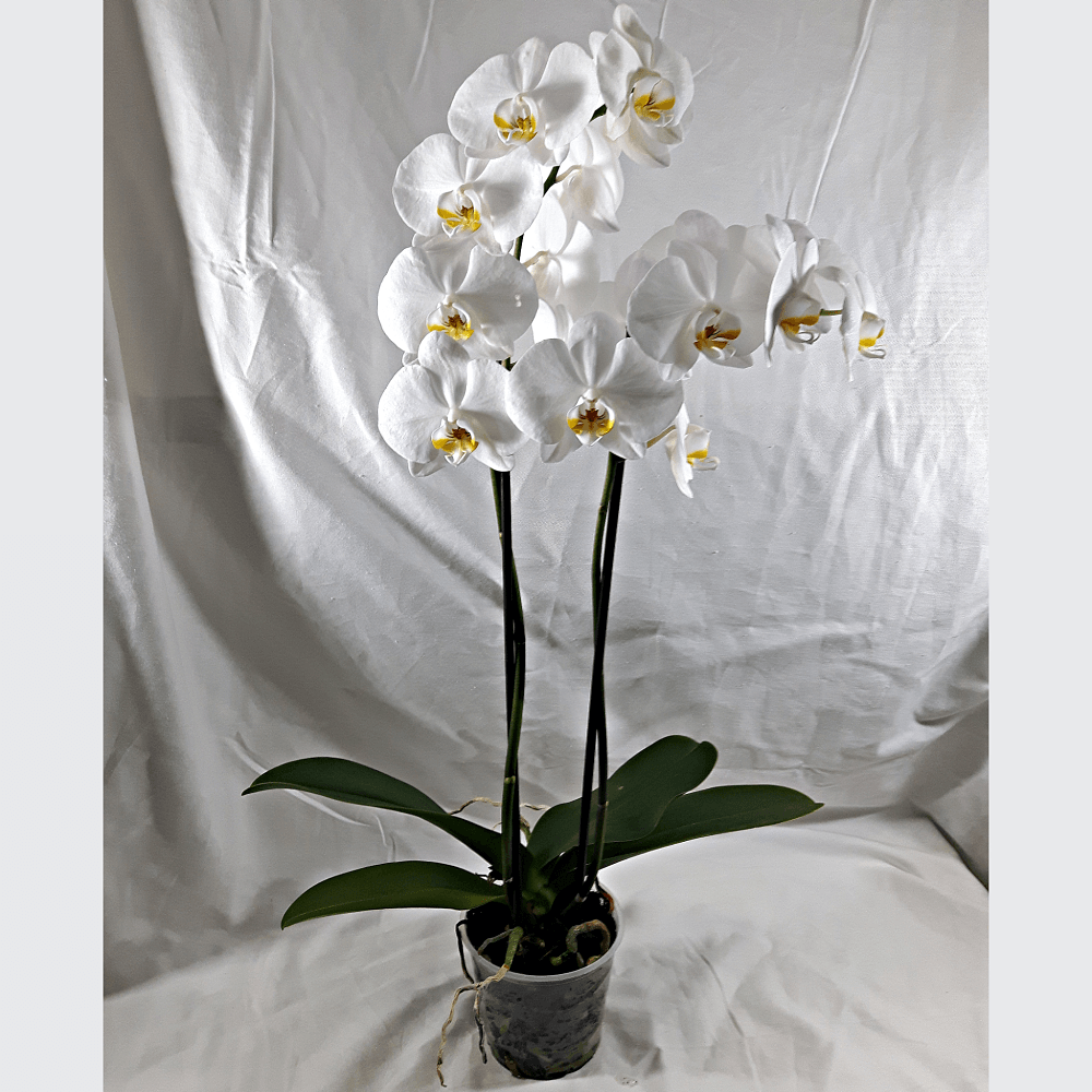 2 Stems White Orchid Plant