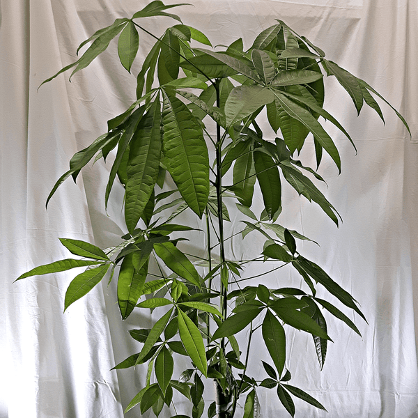 Large Money Tree