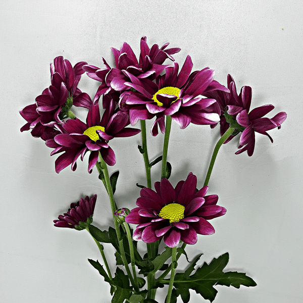 Dark Purple Holland Daisies