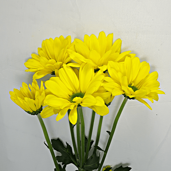 Yellow Holland Daisies
