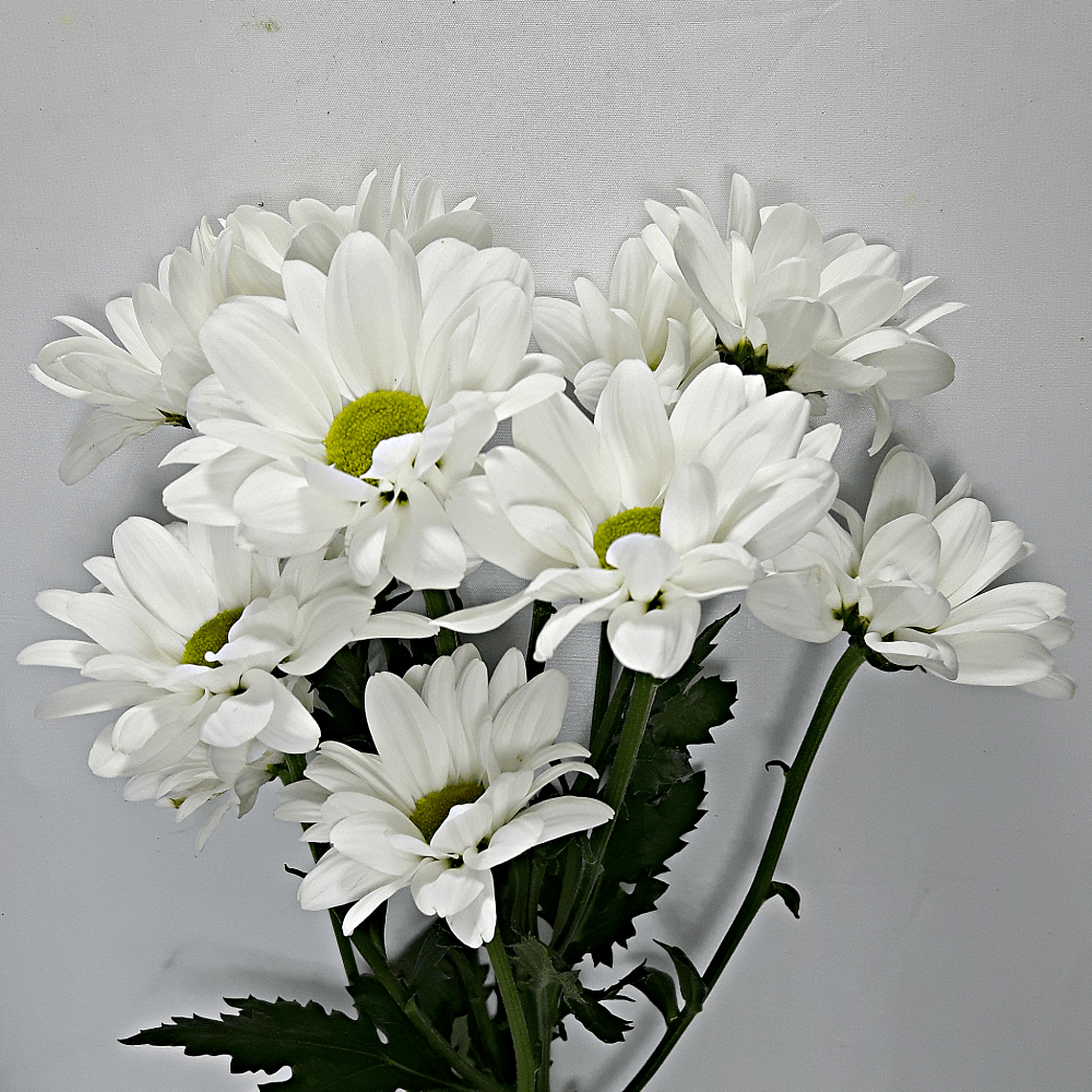 White Holland Daisies