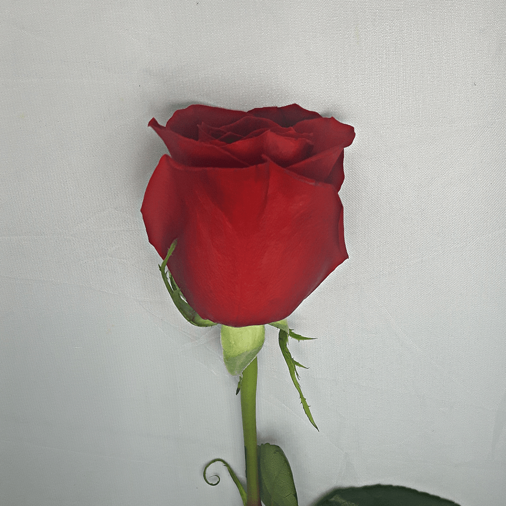 Extra Large Red Rose