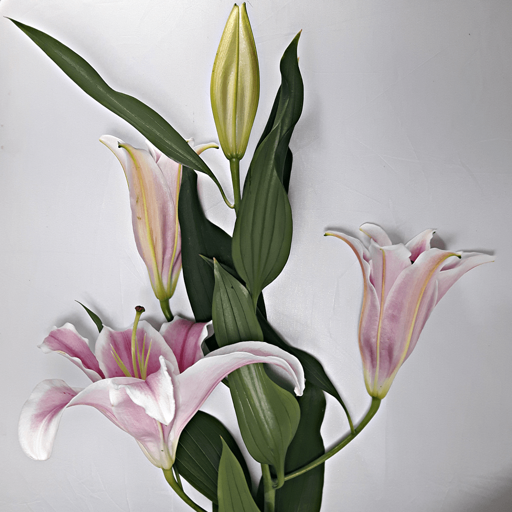 Large Pink Lillies