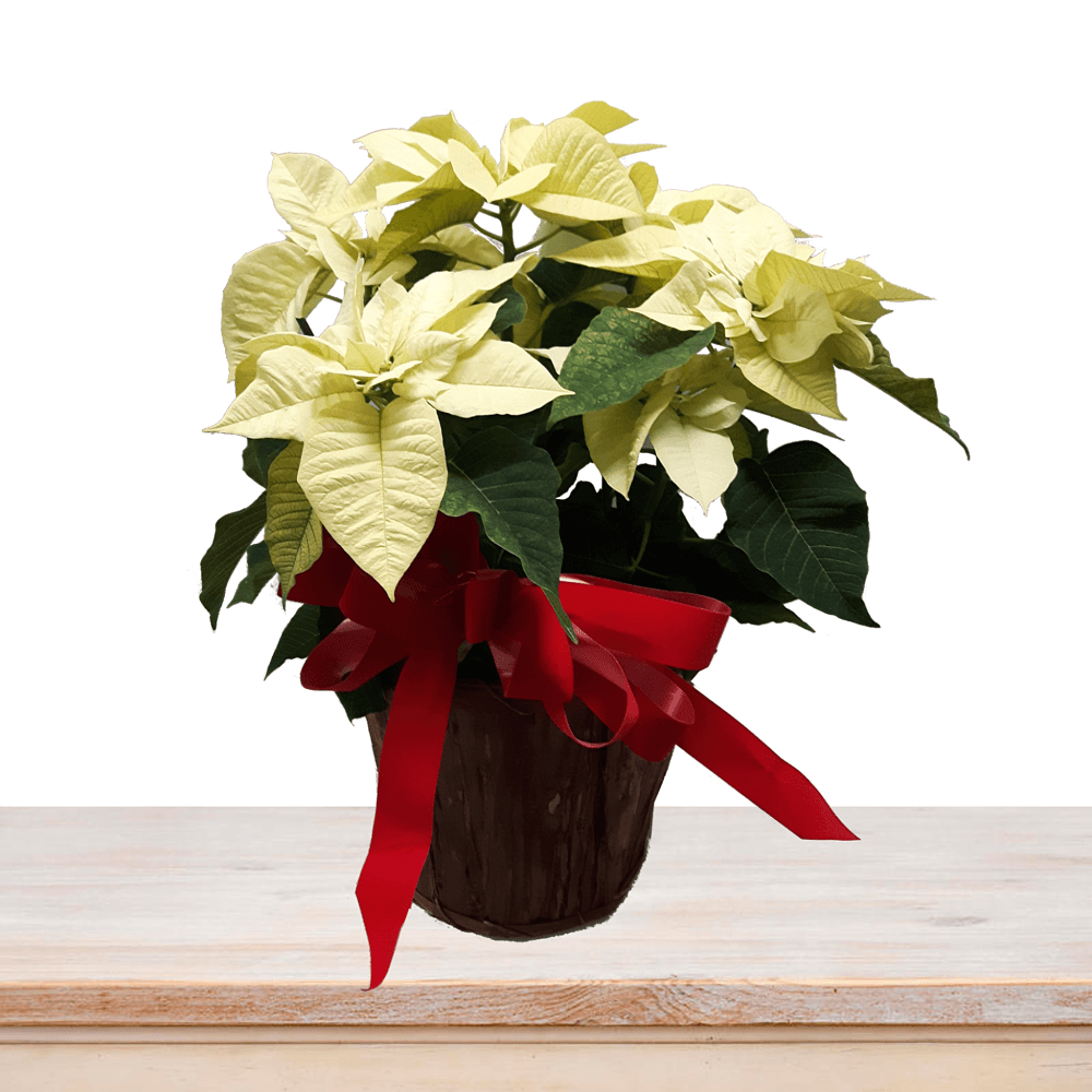 White Poinsettia Basket