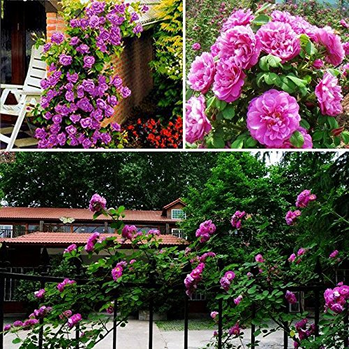 100PCS Climbing Rose Seeds Rosa Multiflora Perennial Fragrant Flower New Purple
