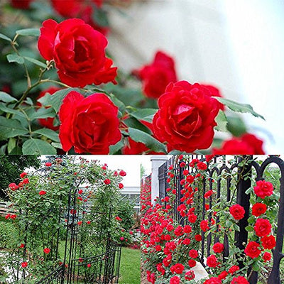 100PCS Climbing Rose Seeds Rosa Multiflora Perennial Fragrant Flower New (Red)