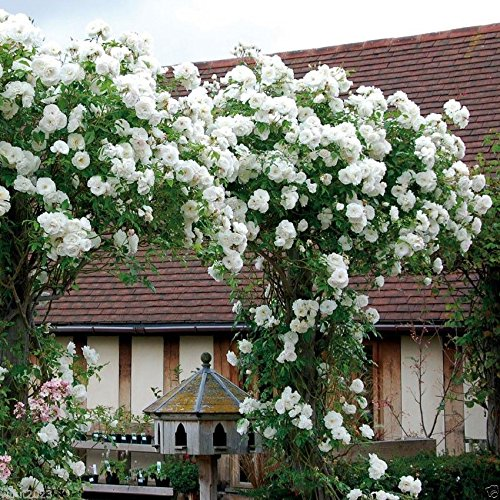100PCS Climbing Rose Seeds Rosa Multiflora Perennial Fragrant Flower New White