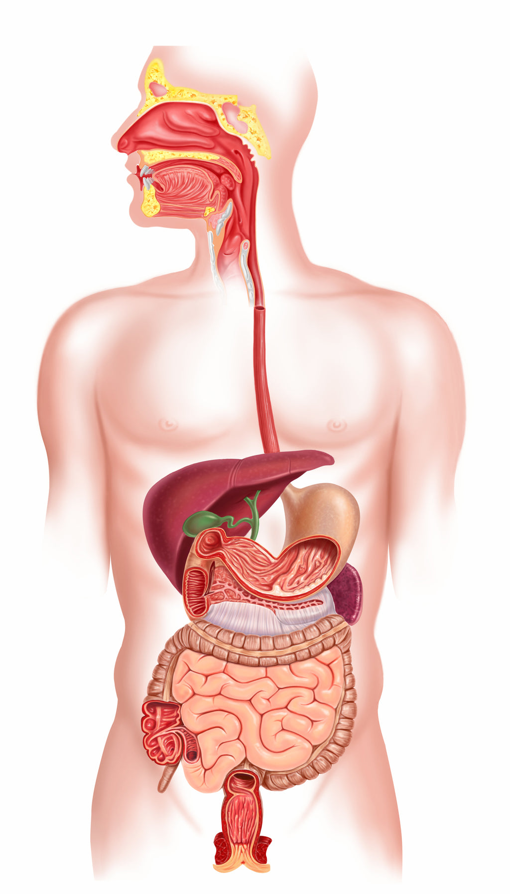 The Foundations to Optimal Digestion: A Journey Through Our Digestive System