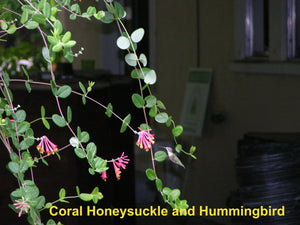 "Coral Honeysuckle 4"" pot"