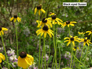 "Black eyed Susan 4"" pot"