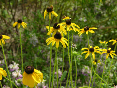 Black Eyed Susan Seed