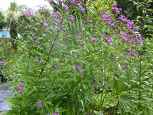 Giant Ironweed Seed Packets