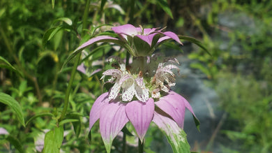 Dotted Horsemint or Spotted Beebalm  4