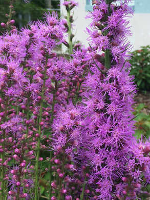 "Blazing Star - Liatris spicata 4"" pot"