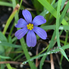 "Blue Eyed Grass 4"" Pots"