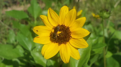 B2. East Coast Dune or Beach Sunflower / Helianthus debilis
