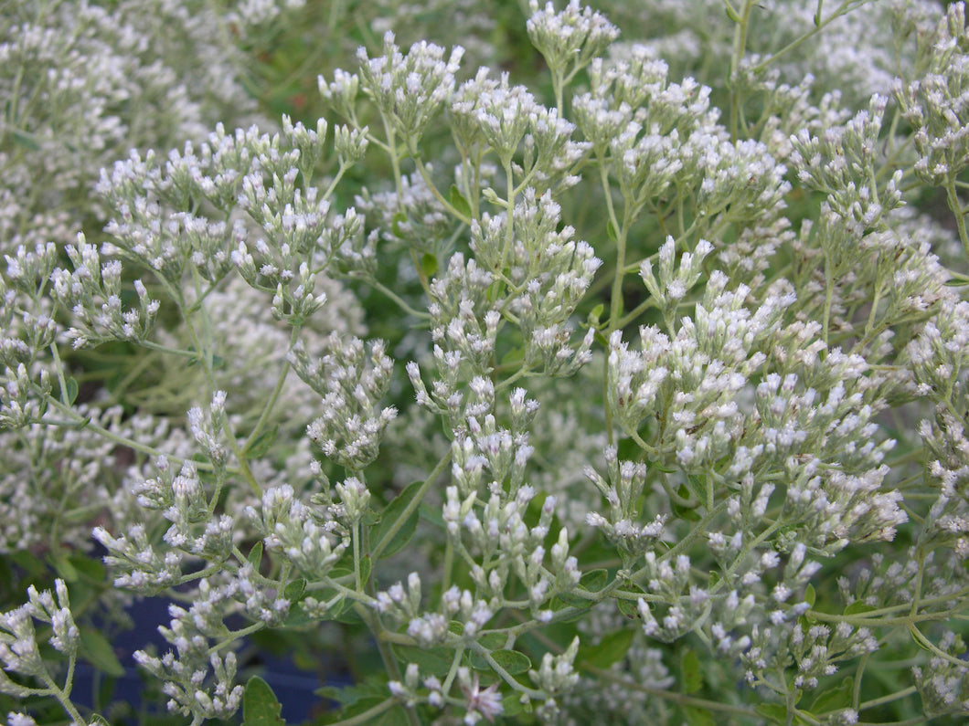 Roundleaf Thoroughwort liners