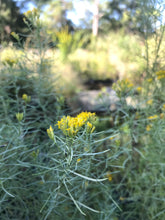 "Flat-top Goldenrod 4"" pots"