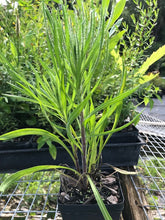 "Blazing Star Slender - Liatris gracilis 4"" pot"
