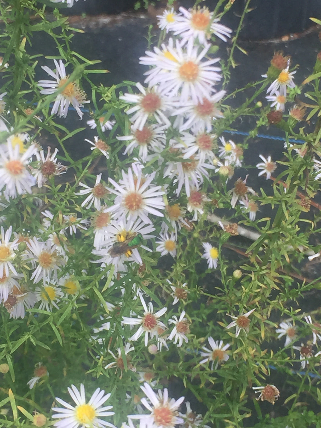 "Rice Button Aster 4"" pots"