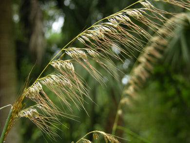 Lopsided Indian Grass - Sorghastrum secundum 4